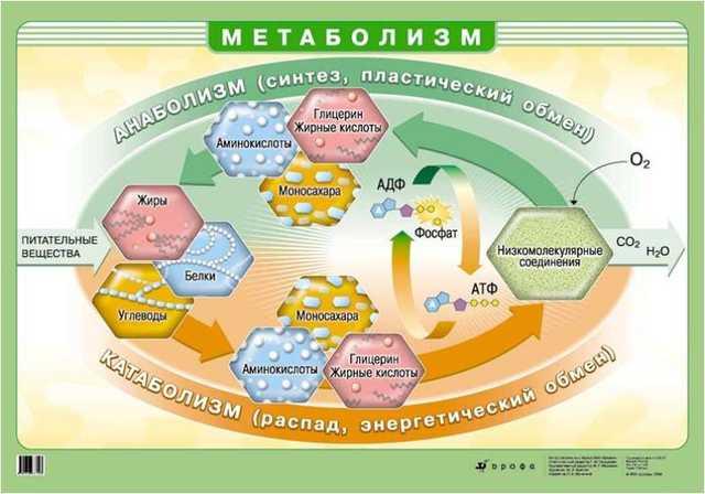 Катаболизм - что это такое простым языком, действие на организм